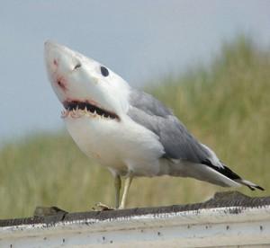 squalo piccione