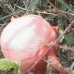 Contatto con una nuova razza aliena nell'orto di Peppe Pluton