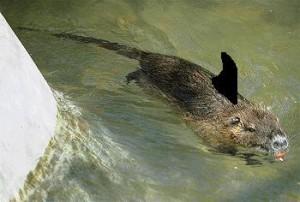 squalo-nutria